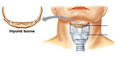 Hyoid-Bone0