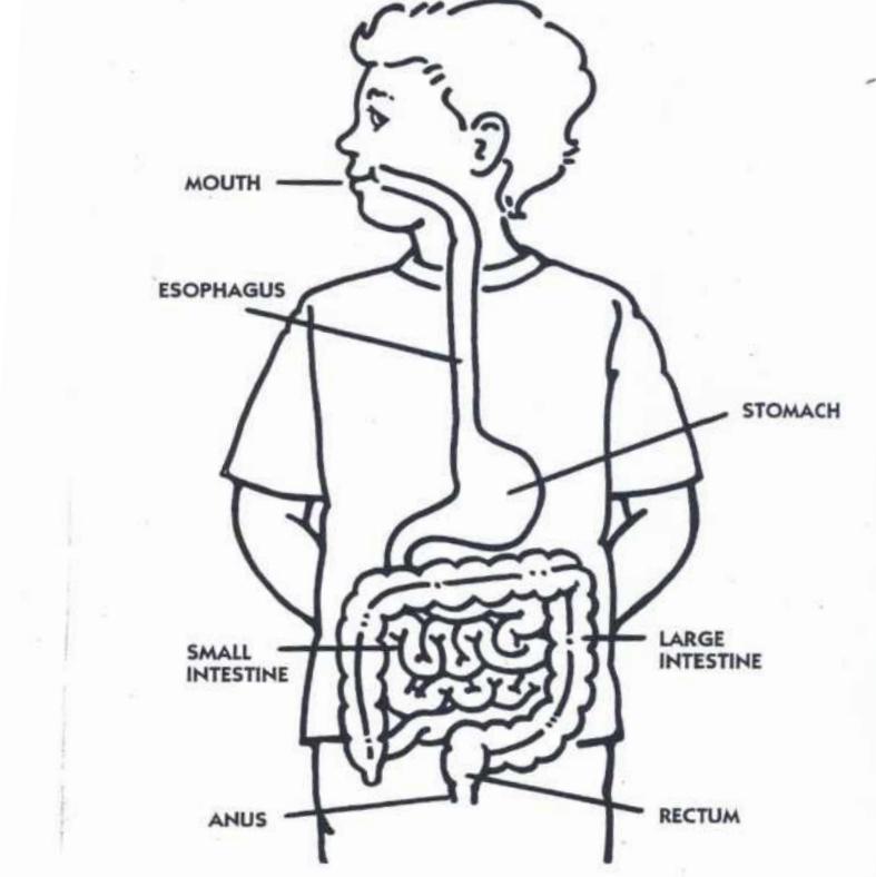 https://www.robotlab.com/hubfs/Education.Robotlab.com/Elementary%20Science/Digestive%20System/digestion%20image.png